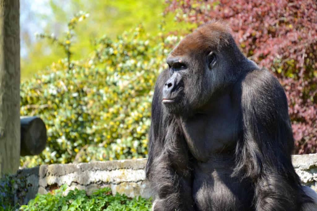 goryle w zoo opole